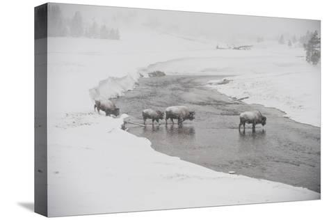 Bison Crossing the Firehole River in a Snowstorm-Tom Murphy-Stretched Canvas Print
