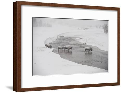 Bison Crossing the Firehole River in a Snowstorm-Tom Murphy-Framed Art Print