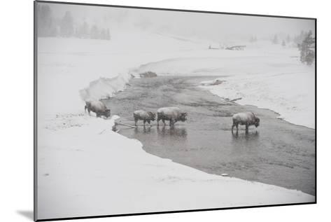 Bison Crossing the Firehole River in a Snowstorm-Tom Murphy-Mounted Photographic Print