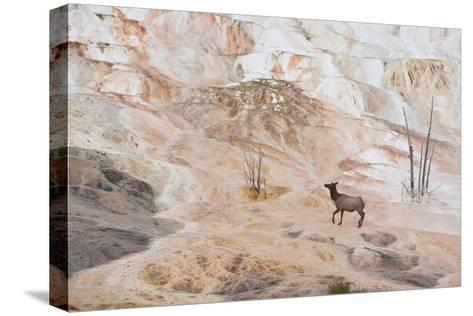 An Elk Cow at Canary Spring-Tom Murphy-Stretched Canvas Print