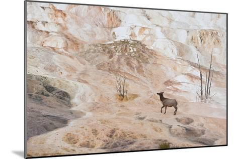 An Elk Cow at Canary Spring-Tom Murphy-Mounted Photographic Print