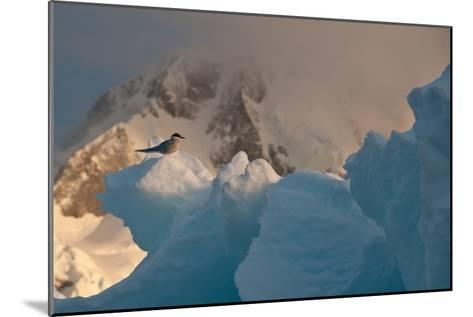 An Antarctic Tern Perched in the Sun on An Iceberg-Tom Murphy-Mounted Photographic Print