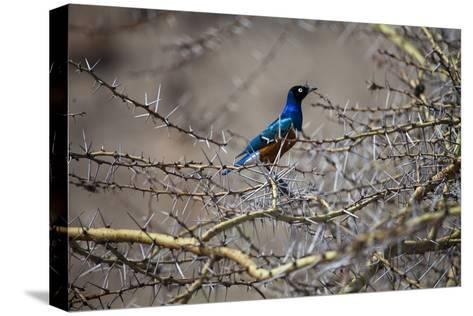 A Bird Perched in a Thicket of Thorny Branches-Aaron Huey-Stretched Canvas Print