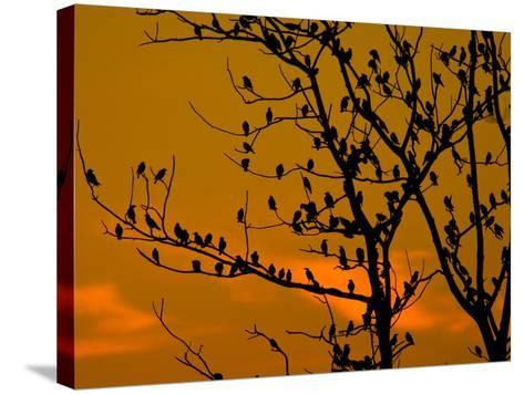 A Massive Group of Starlings Rest in a Tree at Sunrise-Alex Saberi-Stretched Canvas Print