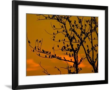 A Massive Group of Starlings Rest in a Tree at Sunrise-Alex Saberi-Framed Art Print