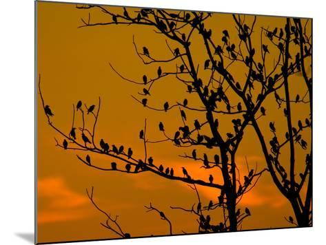 A Massive Group of Starlings Rest in a Tree at Sunrise-Alex Saberi-Mounted Photographic Print
