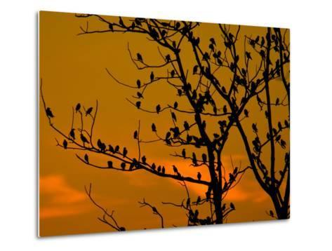 A Massive Group of Starlings Rest in a Tree at Sunrise-Alex Saberi-Metal Print