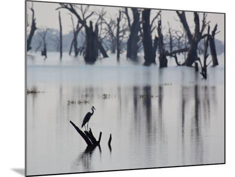 A Gray Heron, Ardea Cinerea, Rests on a Dead Tree in a Lake-Alex Saberi-Mounted Photographic Print