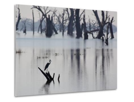 A Gray Heron, Ardea Cinerea, Rests on a Dead Tree in a Lake-Alex Saberi-Metal Print