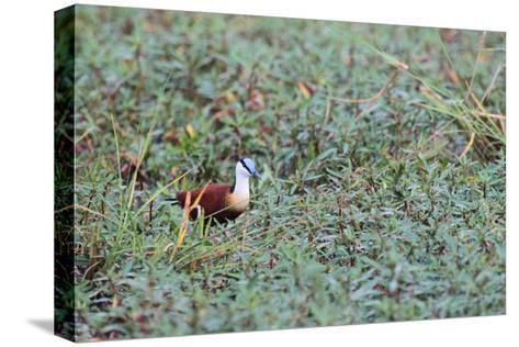 A Male African Jacana, Actophilornis Africana, Hunting in Vegetation-Joe Petersburger-Stretched Canvas Print