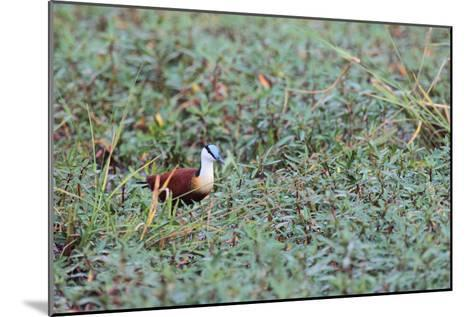 A Male African Jacana, Actophilornis Africana, Hunting in Vegetation-Joe Petersburger-Mounted Photographic Print