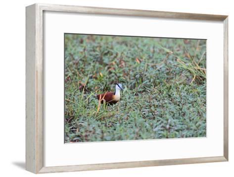 A Male African Jacana, Actophilornis Africana, Hunting in Vegetation-Joe Petersburger-Framed Art Print