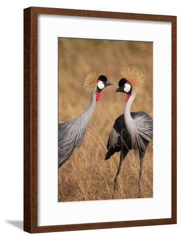 A Pair of Grey Crowned Cranes, Balearica Regulorum Gibbericeps-Joe Petersburger-Framed Art Print