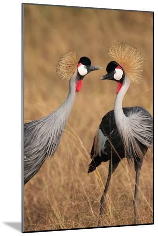 A Pair of Grey Crowned Cranes, Balearica Regulorum Gibbericeps-Joe Petersburger-Mounted Photographic Print