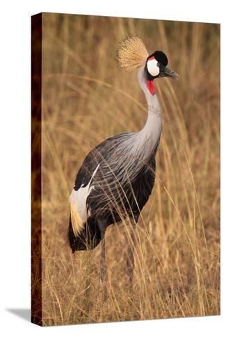 Portrait of a Grey Crowned Crane, Balearica Regulorum Gibbericeps-Joe Petersburger-Stretched Canvas Print