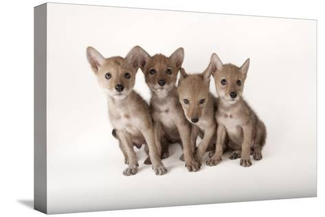 Coyote Puppies, Canis Latrans-Joel Sartore-Stretched Canvas Print