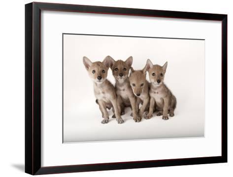 Coyote Puppies, Canis Latrans-Joel Sartore-Framed Art Print