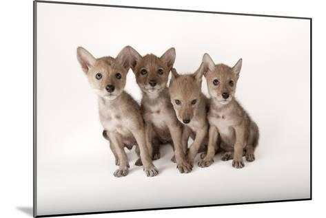 Coyote Puppies, Canis Latrans-Joel Sartore-Mounted Photographic Print