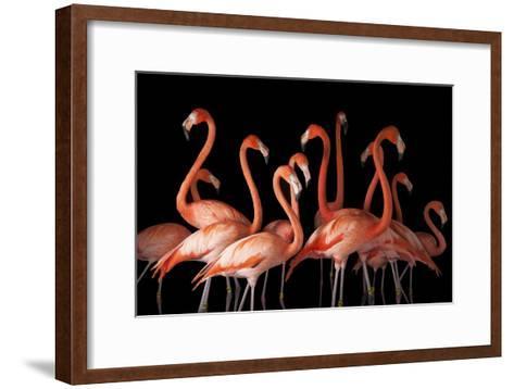 A Group of American Flamingos, Phoenicopterus Ruber-Joel Sartore-Framed Art Print