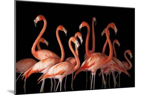 A Group of American Flamingos, Phoenicopterus Ruber-Joel Sartore-Mounted Photographic Print