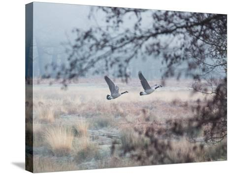 Canada Geese Flying Though a Wintery Richmond Park-Alex Saberi-Stretched Canvas Print