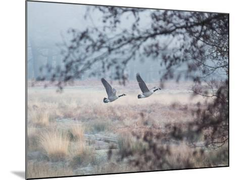Canada Geese Flying Though a Wintery Richmond Park-Alex Saberi-Mounted Photographic Print