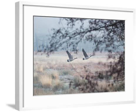 Canada Geese Flying Though a Wintery Richmond Park-Alex Saberi-Framed Art Print