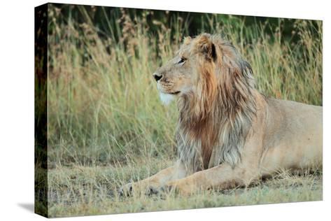 Portrait of a Male Lion, Panthera Leo, Resting But Alert-Joe Petersburger-Stretched Canvas Print