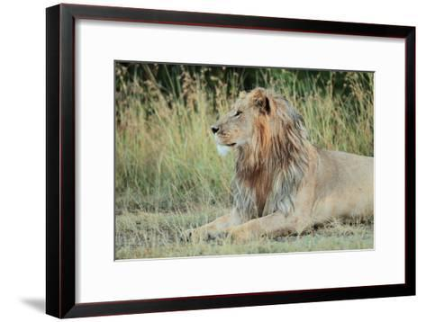 Portrait of a Male Lion, Panthera Leo, Resting But Alert-Joe Petersburger-Framed Art Print