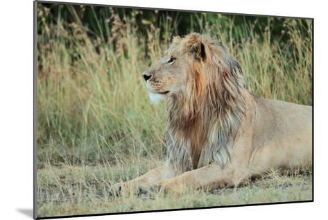 Portrait of a Male Lion, Panthera Leo, Resting But Alert-Joe Petersburger-Mounted Photographic Print