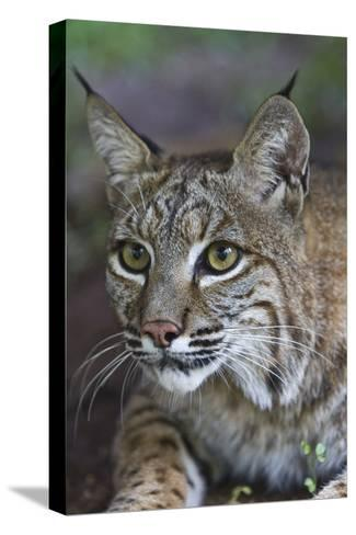 Portrait of a Bobcat, Lynx Rufus-Karine Aigner-Stretched Canvas Print