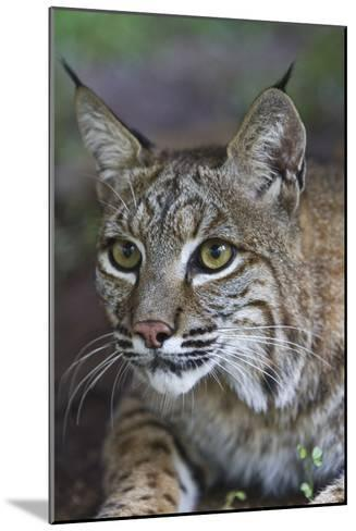 Portrait of a Bobcat, Lynx Rufus-Karine Aigner-Mounted Photographic Print