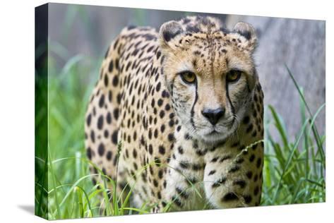 Portrait of a Female Cheetah, Acinonyx Jubatus-Karine Aigner-Stretched Canvas Print