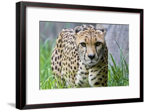 Portrait of a Female Cheetah, Acinonyx Jubatus-Karine Aigner-Framed Art Print