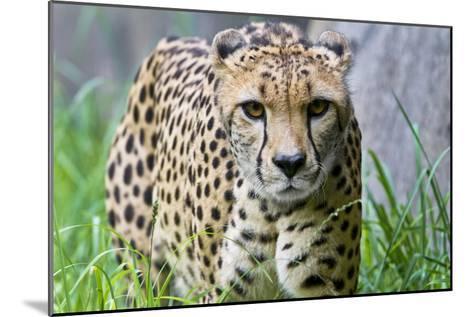 Portrait of a Female Cheetah, Acinonyx Jubatus-Karine Aigner-Mounted Photographic Print