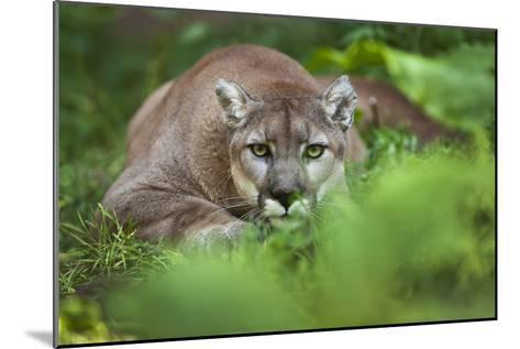 Portrait of a Male Cougar, Felis Concolor, Stalking-Karine Aigner-Mounted Photographic Print