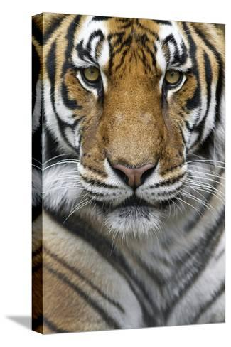 Portrait of a Male Bengal Tiger, Panthera Tigris Tigris-Karine Aigner-Stretched Canvas Print