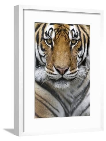 Portrait of a Male Bengal Tiger, Panthera Tigris Tigris-Karine Aigner-Framed Art Print