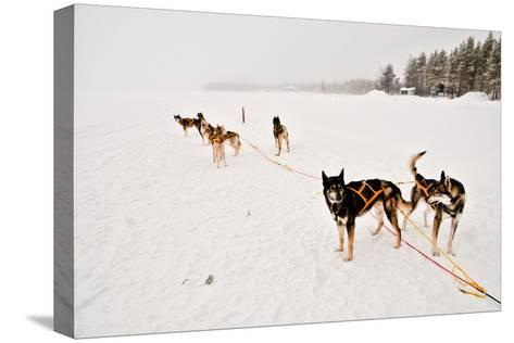 Siberian Husky Sled Dogs Wearing Sled Harnesses Wait to Pull a Sled Over a Frozen Lake-Lola Akinmade Akerstrom-Stretched Canvas Print