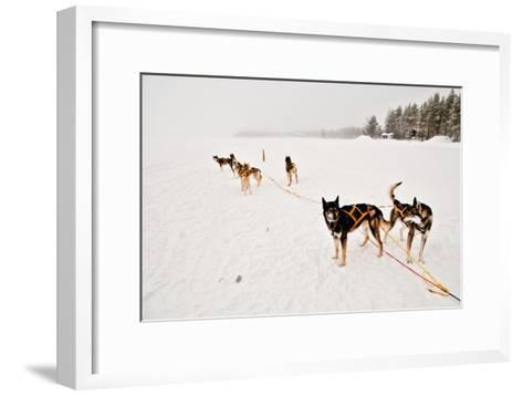 Siberian Husky Sled Dogs Wearing Sled Harnesses Wait to Pull a Sled Over a Frozen Lake-Lola Akinmade Akerstrom-Framed Art Print
