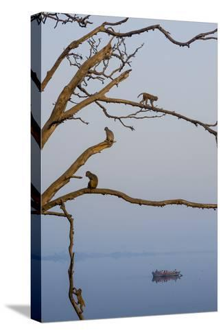 Rhesus Monkeys, Macaca Mulatta, in a Tree on a Bank of the Yamuna River-Jonathan Kingston-Stretched Canvas Print