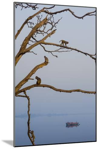 Rhesus Monkeys, Macaca Mulatta, in a Tree on a Bank of the Yamuna River-Jonathan Kingston-Mounted Photographic Print