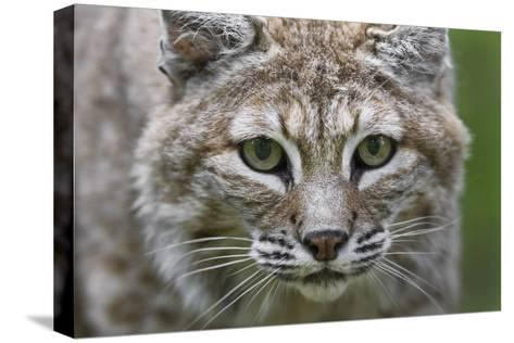 Portrait of a Female Bobcat, Lynx Rufus, Stalking-Karine Aigner-Stretched Canvas Print