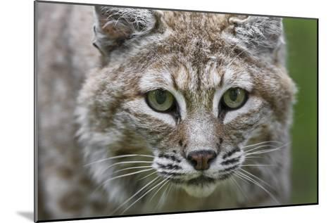 Portrait of a Female Bobcat, Lynx Rufus, Stalking-Karine Aigner-Mounted Photographic Print