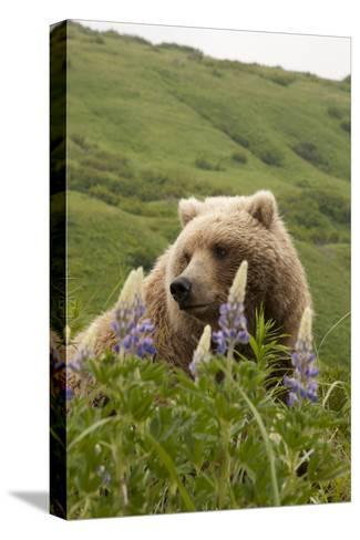Wild Lupine Flowers Frame a Portrait of a Brown Bear-Matthias Breiter-Stretched Canvas Print