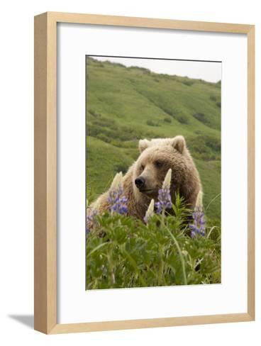 Wild Lupine Flowers Frame a Portrait of a Brown Bear-Matthias Breiter-Framed Art Print