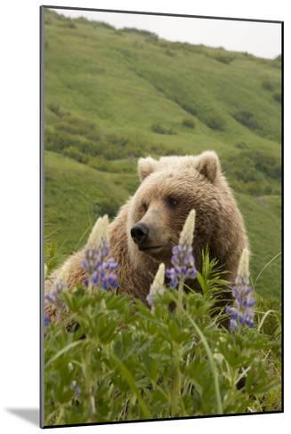 Wild Lupine Flowers Frame a Portrait of a Brown Bear-Matthias Breiter-Mounted Photographic Print