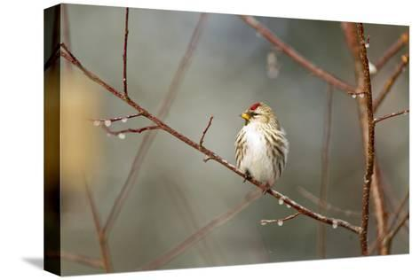 A Common Redpoll Perches on a Twig Ornamented with Dew Drops-Matthias Breiter-Stretched Canvas Print