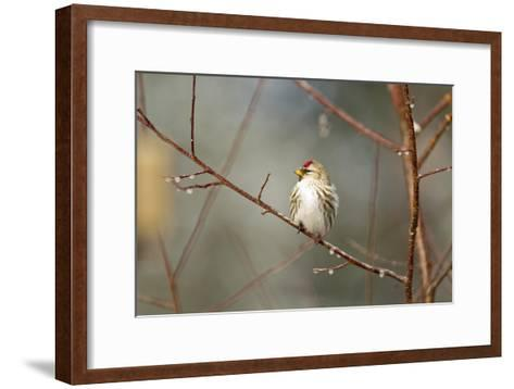 A Common Redpoll Perches on a Twig Ornamented with Dew Drops-Matthias Breiter-Framed Art Print