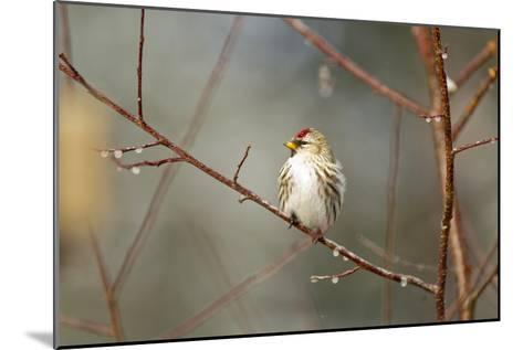 A Common Redpoll Perches on a Twig Ornamented with Dew Drops-Matthias Breiter-Mounted Photographic Print